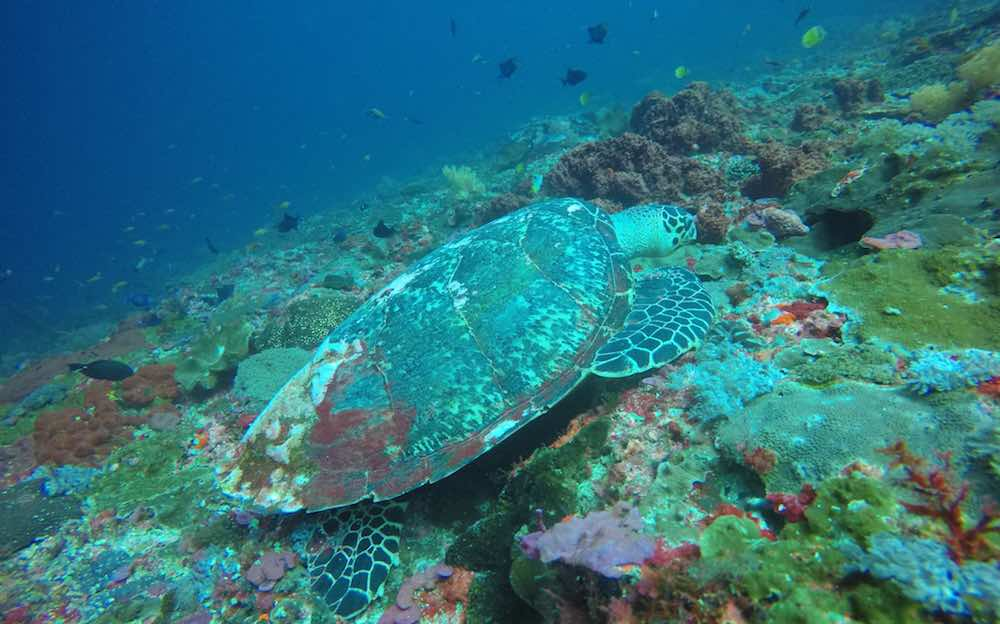 Gamat Bay Turtle diving snorkeling Nusa Penida