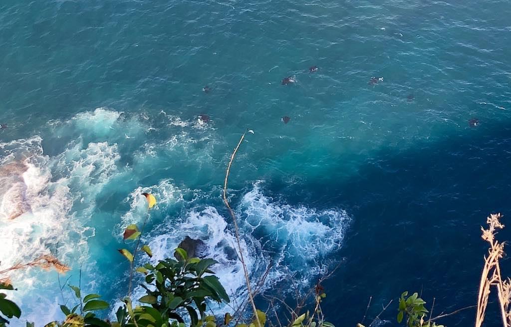 Ikan Manta terlihat dari tebing Nusa Penida Bali