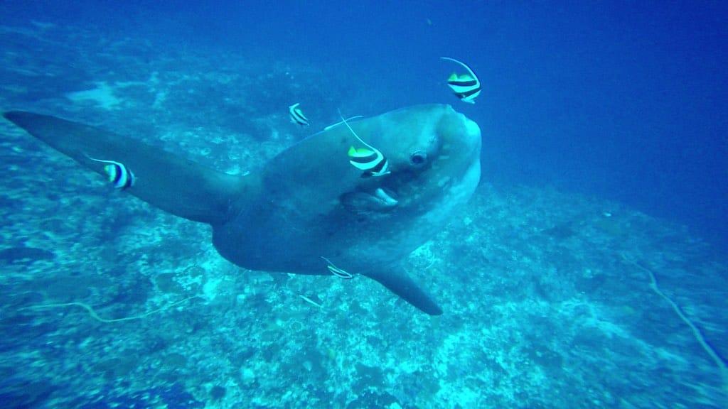 Mola Mola diving Nusa Penida Bali