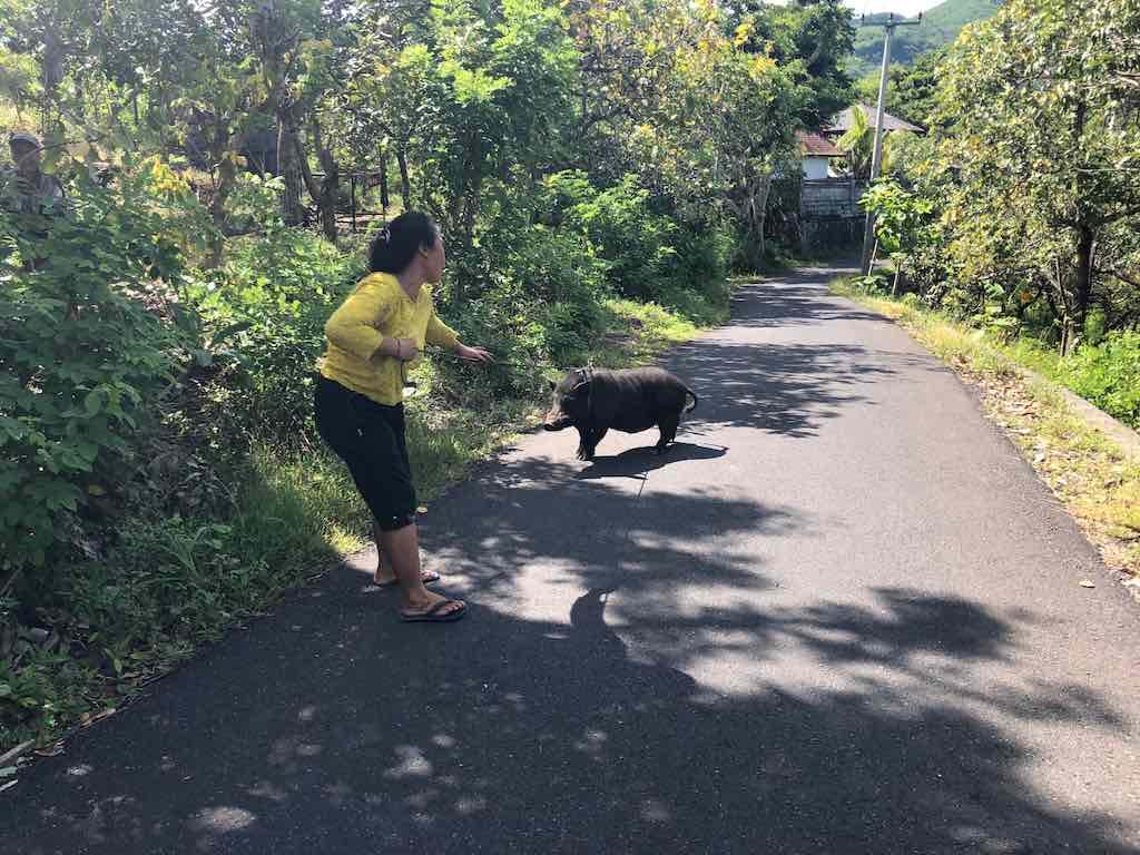 get around in Nusa Penida on roads with animals