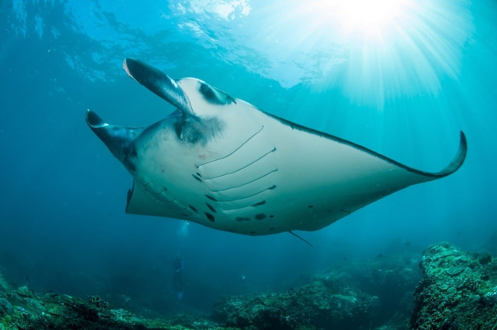 Ikan Pari Manta karang Nusa Penida Bali