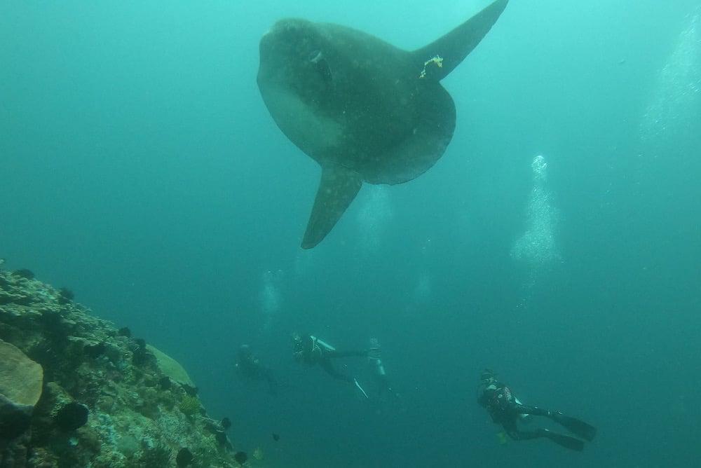 Mola Mola Gili Tepekong Bali