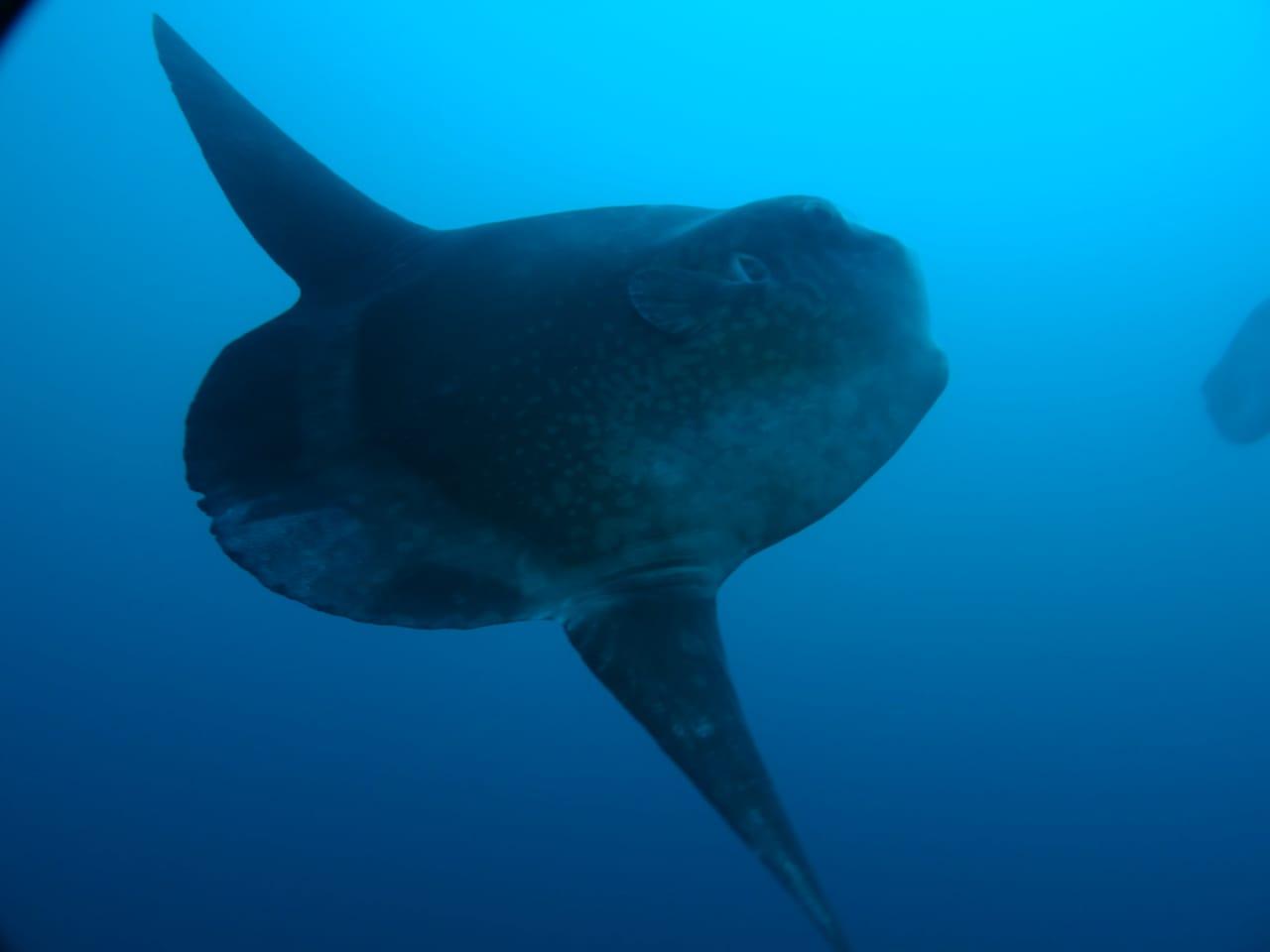 ikan Mola Mola Nusa Penida Bali