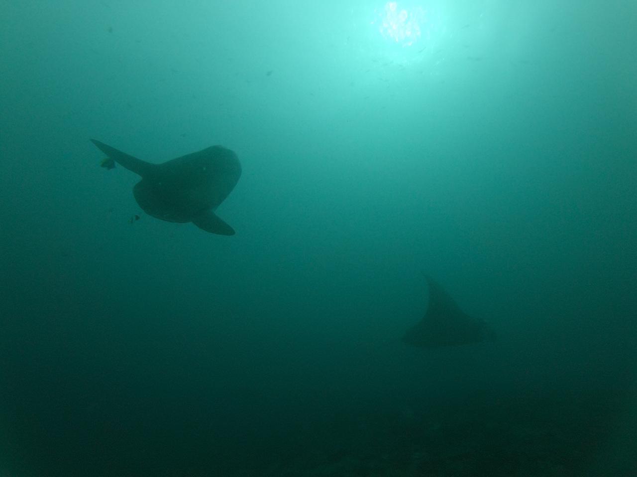 Mola Mola dan ikan pari di Manta Point Nusa Penida Bali
