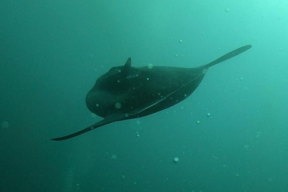 Mola Mola ikan Nusa Penida Bali