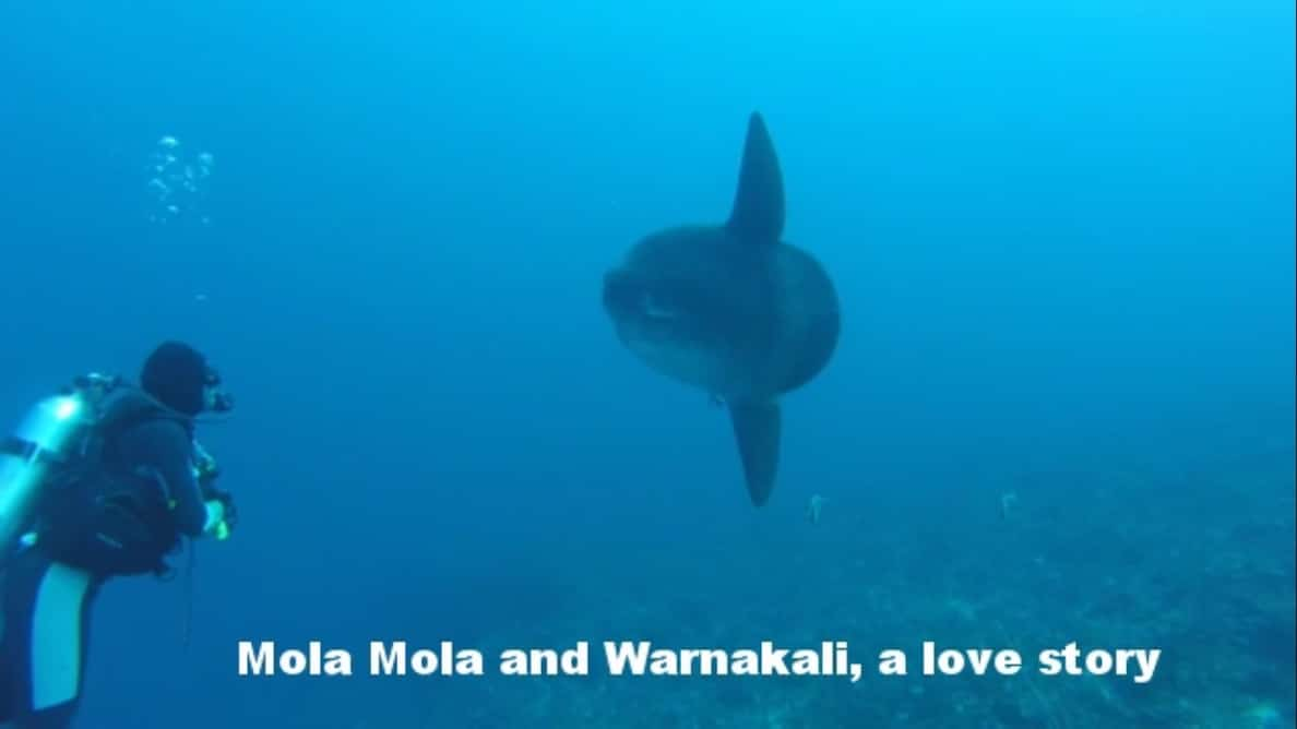 Mola Mola ikan Warnakali Nusa Penida Bali