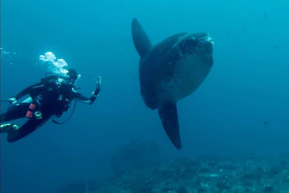 Mola Mola penyelam Nusa Penida Bali